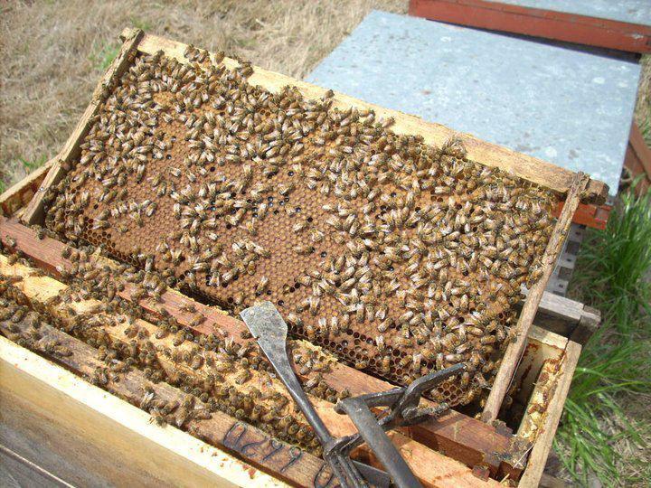 امراض النحل والحشرات الضارة
